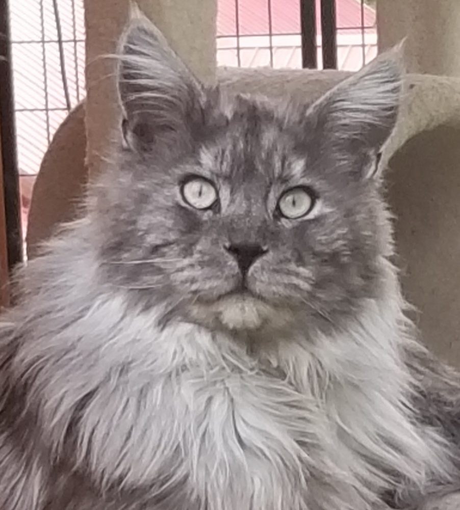 Turtle Valley Maine Coon Cats » About