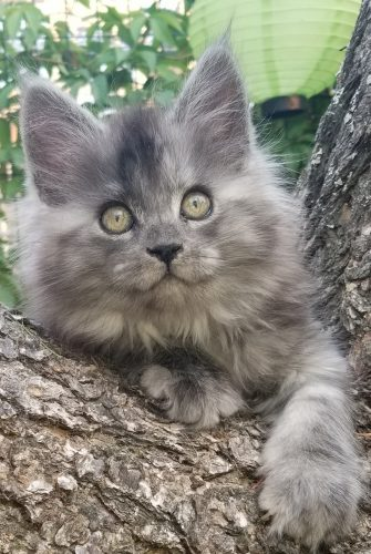 Turtle Valley Maine Coon Cats • British Columbia, Canada