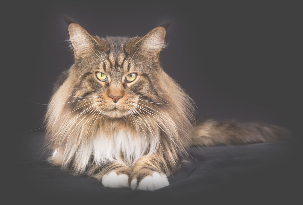 Turtle valley maine coon cats contact for Koi pond maine coon cattery