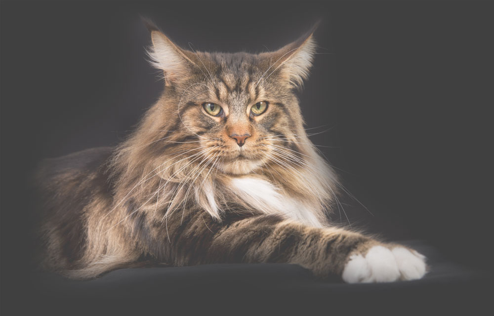 Turtle Valley Maine Coon Cats